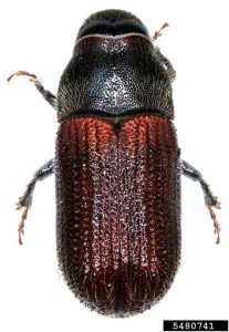 Adult Spruce Beetle Top View
