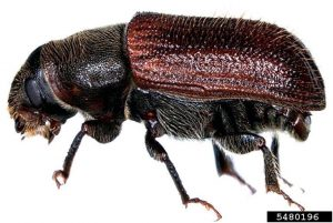 Adult Spruce Beetle Side View
