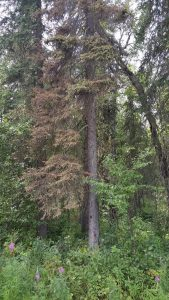 Needle discoloration resulting from Spruce beetle infestation