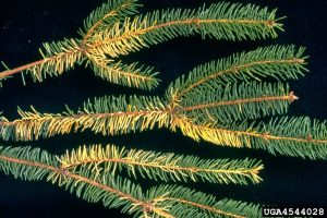 Spruce needle discoloration due to drought conditions.