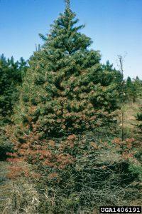 Symptoms of needle cast disease in spruce.